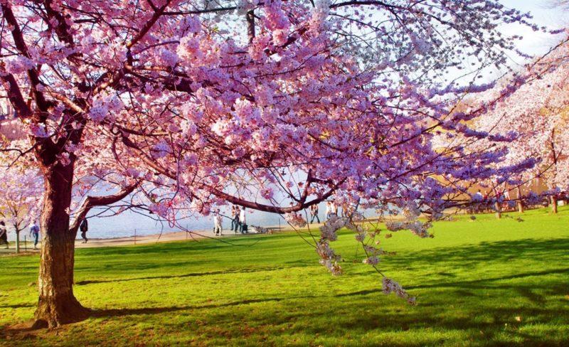 primavara peisaj copaci infloriti